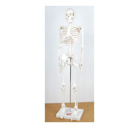 1/2 Scale Skeleton Model White Each